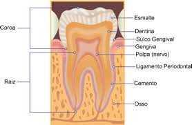 Anatomia do Periodonto, Anatomia do Periodonto Zona Sul, Anatomia do Periodonto Zona Sul SP,